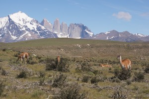 Guanacos im Torres del Paine Nationalpark